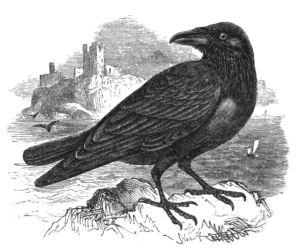 Natural_History,_Birds_-_Raven